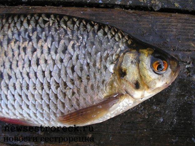 паразит в рыбе в ленобласти