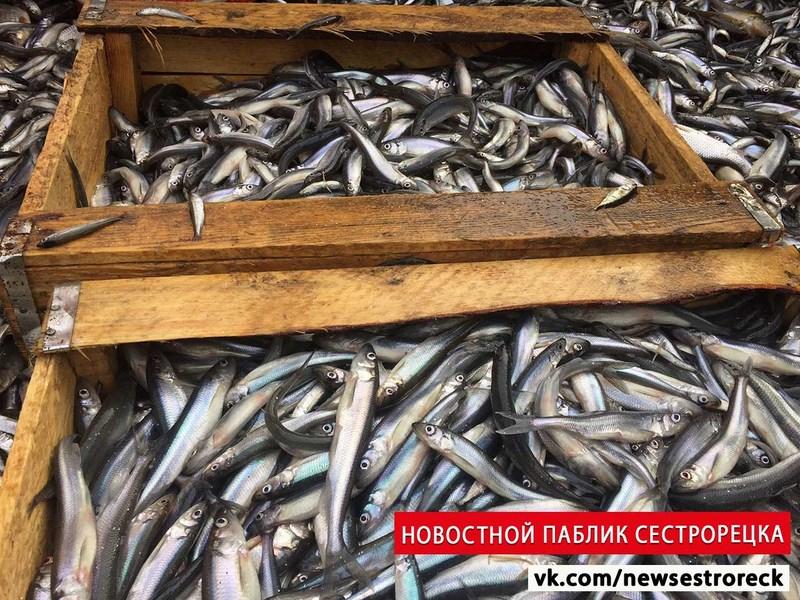 В Петербурге стартовал промышленный лов корюшки